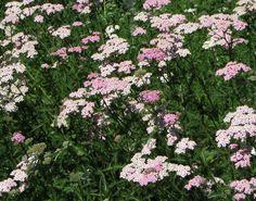 Achillea millefolium pink yarrow | Matilija Nursery – California Native Plant and Iris Nursery