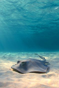Rays of light BY~Ellen Cuylaerts, such a great view of the EYES of this manta ray, which are so often diminished in the overall picture of such a beast.