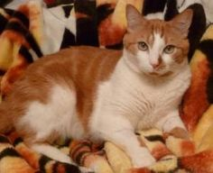 Orron is an adoptable Domestic Short Hair - Orange And White Cat in Anchorage, AK.  Looking for a handsome, affectionate, easy-going guy? Orron is a gentle, tolerant and mellow cat. He loves to be pet...