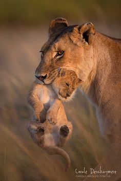 ~~A Mother's love | Lioness moving her cub in the Masai Mara, early morning | by Deschuymere Carole~~