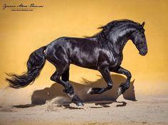 "642 Likes, 8 Comments - Ignacio Alvar Thomas (@alvar_thomas) on Instagram: ""Friesian Stallion at @frisonesdelacruz #frisones #friesians #friesianstallion #horsesofinstagram…"""