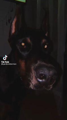 Doberman Pinscher Puppy, Doberman Dogs, Cute Little Animals, Baby Animals, Funny Animals, Scary Dogs, Funny Dogs, Charolette Anime, European Doberman
