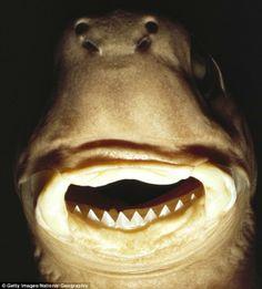Tubarão-charuto