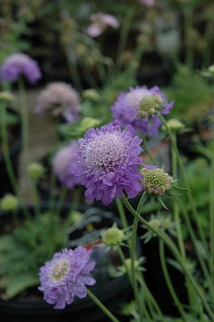 Blue Note Pincushion Flower (Scabiosa 'Blue Note') in Naperville ...