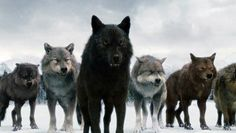The Twilight Saga Wolves The Wolf Pack Pictures Pictures Twilight Jacob, Twilight Wolf Pack, Saga Twilight, Twilight Movie, Beautiful Wolves, Animals Beautiful, Wolf Spirit Animal, Wolf Photos, Twilight Pictures