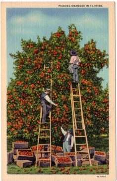 Linen Postcard Picking Oranges In Florida Vintage Florida, Vintage California, Old Florida, Southern California, Sunny California, Posters Vintage, Retro Poster, Vintage Postcards, Vintage Cards
