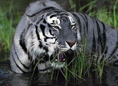 rare blue tiger | maltese tiger tiger blue rare photo awesome hipster
