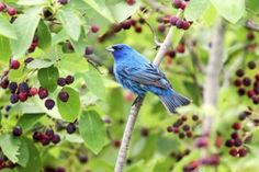 Including berry-producing shrubs in your garden helps to attract birds like blue grosbeaks.