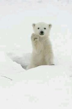 Oh my goodness! How adorable is this little polar bear cub!