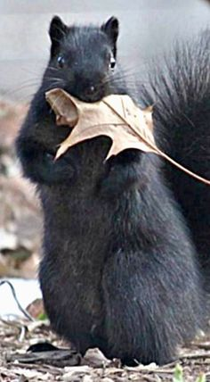 Collecting leaves for a new drey Black Squirrel, Cute Squirrel, Tree Rat, Animals And Pets, Cute Animals, Squirrel Pictures, Animal Facts, Forest Friends, Tier Fotos