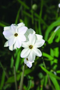 uniflorum 'Alberto Castillo' - a new larger white from very special growers, our friends, Wim and Mark de Goede!