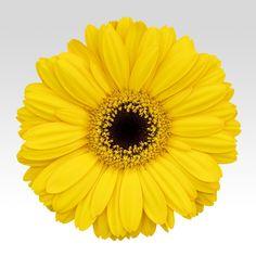 Yellow Germinis with dark eye