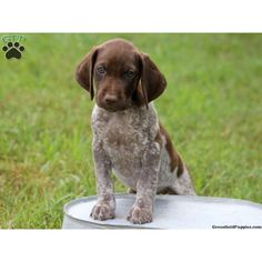 German Shorthaired Pointer Puppy ❤ liked on Polyvore featuring animals