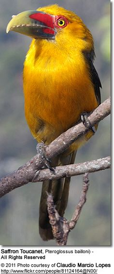 Saffron Toucanet, Pteroglossus bailloni. It is found in Atlantic Forest in far northeastern Argentina, southeast-ern Brazil, and eastern Paraguay