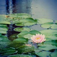 LotusLove Claude Monet, Image Zen, Love Lily, Water Flowers, Lotus Flowers, Lily Pond, Painting Techniques, Land Scape, Flower Power