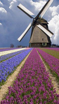 Campo com flores e moinho, na Holanda. #viagem #moinho #Holanda