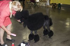 Getting this Standard Poodle ready for the ring.