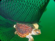 A baby sea turtle narrowly avoids a fishing net --- Lawsuit Could Save Thousands of Sea Turtles (Op-Ed)