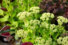 Sedum a spectabile - ice plant. A clump forming perennial with upright stems of grey green leaves. Dense clusters of starry pink flowers in late summer. H 45cm. Flowers Aug to Sept. Full sun, hardy. www.thepavilion.ie
