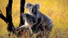 The amount of love I have for koalas is bigger than I can explained!