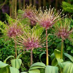 Tall Allium Bulbs - Schubertii | Buy in Bulk at EdenBrothers.com