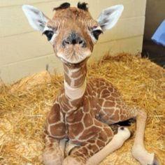 Baby giraffe! Have totally fallen in love with giraffes!