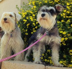 New Mexican adventures for 2 adorable schnauzers
