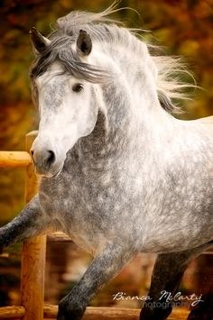 Jastizo, Andalusian Stallion, dapple gray, Horse Photography, Equine Photography, Colorado