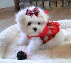 Look at my beautiful Baby maltese .. we adore our puppies! www.texasteacuppuppy.com