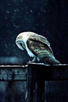 beatiful owl