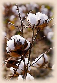 The beauty of cotton growing in the fields - spectacular!