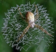 The Spiders That Decorate Their Own Webs