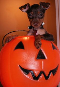 Min Pin Jack'o'lantern. Great Halloween wallpaper. Miniature Pinscher. Dogs