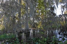 Cypress trees in the Florida everglades from our airboat ride near Kissimmee @visitflorida