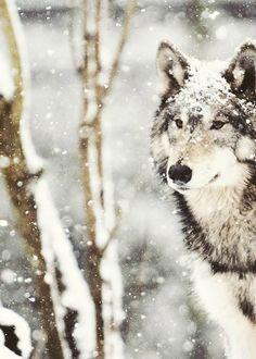 """'Le loup est un maître, un sage. Il revient après de nombreux hivers sur la voie sacrée en cherchant les voies de la sagesse pour partager de nouvelles connaissances avec la tribu . Le loup est à la fois le radical et le traditionnel dans le même souffle . Lorsqu'il marche avec vous, vous vous souvenez. """""""