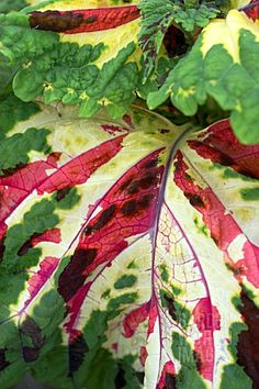 Coleus-- I've got one with this coloring. She's named Elizabeth Bathory and she lives in a Monster High cup!