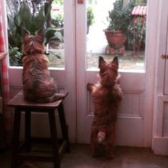 Bossie & Betsy the Cairn Terriers...waiting for mom