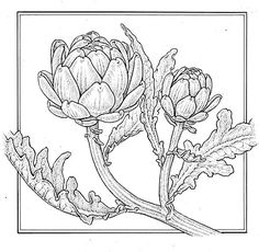 Artichoke illustration by botanical artist Bobbi Angell