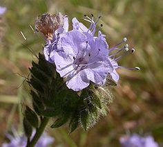 Phacelia (soort) - Wikipedia