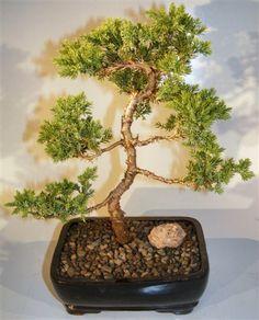 Juniper Karate Kid Bonsai Tree - Medium (Juniper Procumbens nana)