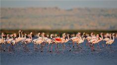 Flamingos at Lake Elmenteita, a soda ash lake in Kenya's Rift Valley. Lake Elmenteita is now a UNESCO World Heritage site. Rift Valley, The Great White, East Africa, Bird Species, Bird Watching, Kenya, Safari, National Parks, Sleep