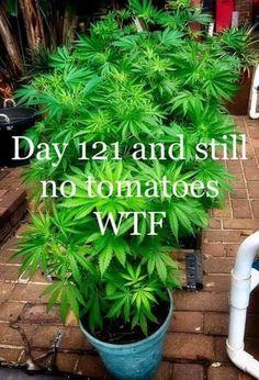 My neighbor is growing tomatoes on her patio - Meme Collection Marijuana Plants, Medical Marijuana, 420 Memes, Weed Humor, Weed Jokes, Puff And Pass, Gardens, Herbs, Jokes