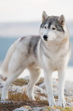 A delightful gray siberian husky stands on a mountain in the background of a for… – Pet Resort Husky Pet, Wolf Husky, Pet Resort, Wolf Spirit Animal, Yorkshire Terrier Puppies, Snow Dogs, Alaskan Malamute, Wild Dogs, Animals