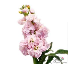 19 best stock flowers images on pinterest stock flower bright our sweetheart pink stock flowers are a great filler to accent floral arrangements we offer mightylinksfo