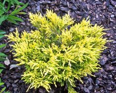 Juniper Lime Glow. A low growing evergreen good for small places and adding color. Turns a coppery bronze in fall through winter. Will look awesome with a blue juniper or spruce. Add in some dwarf nandina firepower (no more than 3 ft tall and wide) that turns and stays red through winter and you'll have a beautiful, interesting all season evergreen garden.