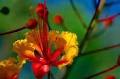 Royal Poinciana or Flamboyant; known as Gulmohar in India