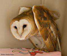 WSWS - Sponsor the Barn Owl