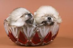 How to Care for Newborn Pomeranian Puppies - Pets