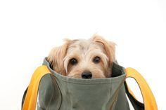 One of the wonderful things about dogs compared with other pets is their portability. Dog travel bags make it easy and convenient to take your pet anywhere. Terrier Breeds, Terrier Dogs, Terriers, Dog Travel, Travel Bags, Norfolk Terrier, Dog Backpack, Dog Houses, Dog Care