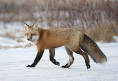Very interesting post: Fox Photo - 122 Pictures. Also dompiсt.сom lot of interesting things on Funny Animals. Beautiful Creatures, Animals Beautiful, Majestic Animals, Fox In Snow, Funny Animals, Cute Animals, Wild Animals, Fox Drawing, Pet Fox